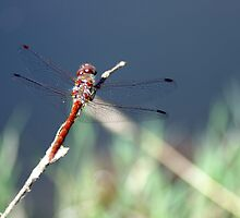 dragon fly by Fran E.