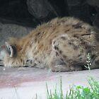 Spotted Hyena In Captivity ... Toronto Zoo by gypsykatz