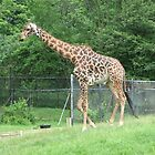 The Giraffe ...Toronto Zoo by gypsykatz