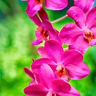 Hot Pink Orchids by KellyHeaton