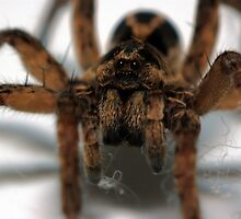 Wolf spider by David  Hall