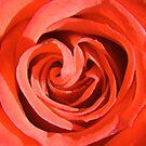 orange rose by SNAPPYDAVE