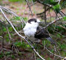 Gray Jay.... Olympic National Park, Washington by Koala