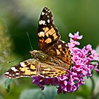 Painted Lady by AnnDixon