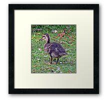 Orpheus The Mallard Duckling Framed Print