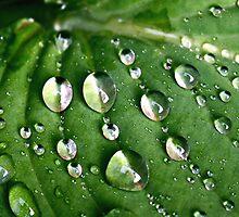 Hosta Leaf. ST.GEORGE, BRISTOL, ENGLAND by kojobar