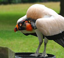 The King Vulture by jdmphotography
