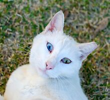 White cat with blue eyes  by PhotoStock-Isra