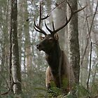 Elk (Cervus elaphus) 20D0020599 by Cristian