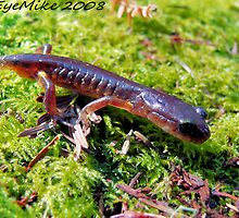 #455    Salamander On Moss by MyInnereyeMike