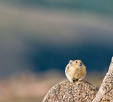 Pika Stink Eye by Jay Ryser