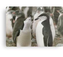 Chinstrap Penguin Courtship Metal Print