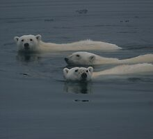 Polar Bear Swim    by Steve Bulford