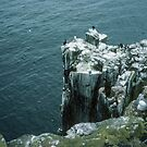 Shags on Inner Farne off Sea Houses Bamburgh Northumberland England 198405280016m by Fred Mitchell
