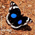 BLUE PANSY – Junonia oenone oenone ( African Butterfly series) by Magaret Meintjes