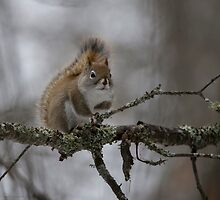 The Elusive Red Squirrel by SandraNightski