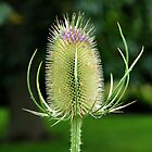 Thistle by Alisdair Gurney