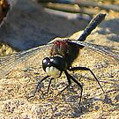 Fire Dragonfly by CXCBEAR