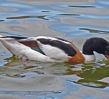 A Common Shelduck by AARDVARK
