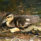 Mallard Duckling 2 by Richard Durrant
