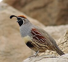 California Quail  by Natures Vision
