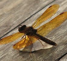Amber Winged Light Catcher by Stevesphotoz