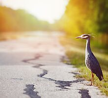 Night Heron Waiting for His Ride by va103