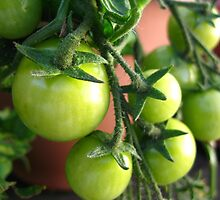 Green Tomatoes by vanorange