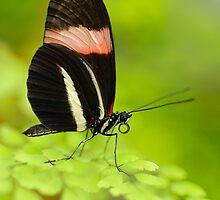 Postman Butterfly (Heliconius melphomene) by Mirka Rueda Rodriguez