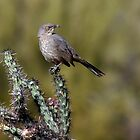 Curve-billed Thrasher by Daniel J. McCauley IV