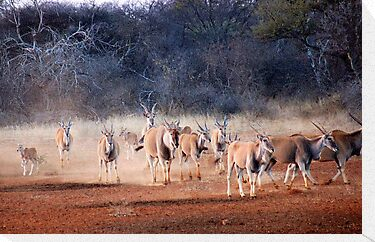 THE ELAND - Taurotragus oryx by Magaret Meintjes