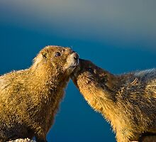 STOCK-Smooching Marmots by Jay Ryser