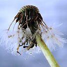 dandelion surprise by Tamara Brandy