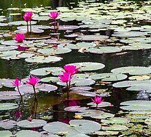 Sigiriya Lotus Lillies by darkydoors