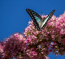 Pale Triangle Butterfly, Wings Open by JLOPhotography