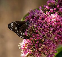 Common Crow Butterfly - Wings Closed by JLOPhotography