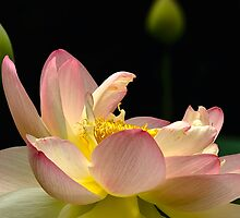 Lotus Flower by owensdp1277