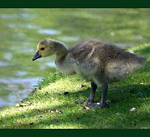 A Gosling Contemplates Water by Dreambarks