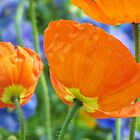 orange poppies by allieart