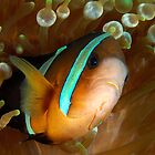 Aggresive Anemone Fish by MattTworkowski