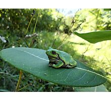 Gorgeously Hefty Tree Frog on Leaf in the Forest - Nature Photography by Barberelli Photographic Print