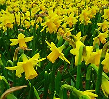 Daffodils by franceslewis