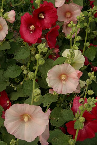 Pink and Red Hollyhocks  by Stephen Thomas