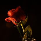 Red Rose I by ThomasBlair