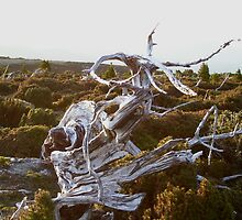 weird dead trees on Mt Read, Rosebery, Tasmania by gaylene