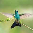 Green violet-eared hummingbird by Jim Cumming
