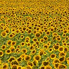 sunflowers by Kevin Hayden
