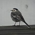 Wagtail by Caroline Smalley