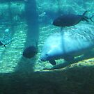 Manatee and friends by Rachel Counts
