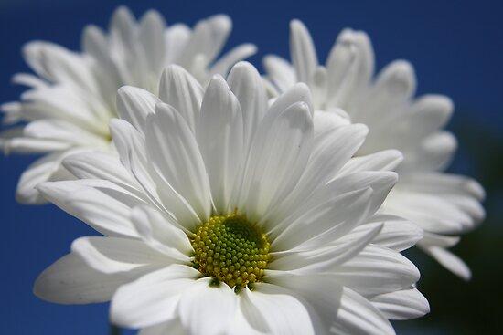 White Daisies by Terri~Lynn Bealle